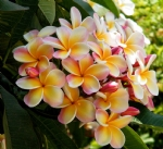 Know your Frangipani