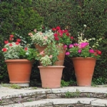 How to fix Geraniums