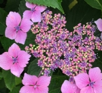 Know your Hydrangeas