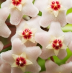 Where to buy: Climbing Plants